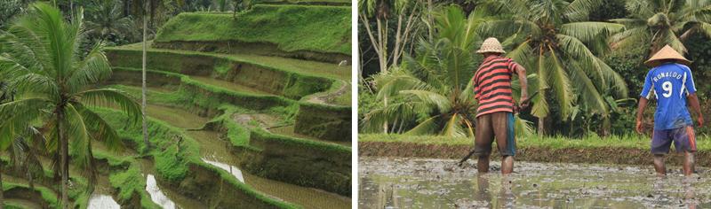 rizière et travailleur balinais