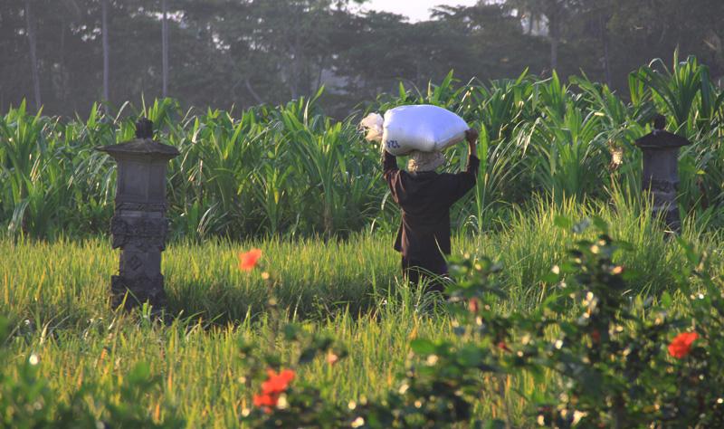 ricefield Ubud