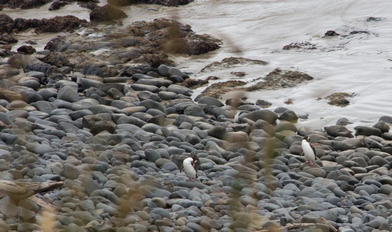 pingouins-yeux-jaunes